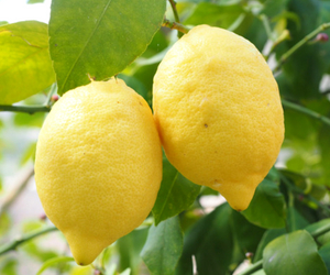 Lemon for Energy and Focus Recipe The Juice Authority